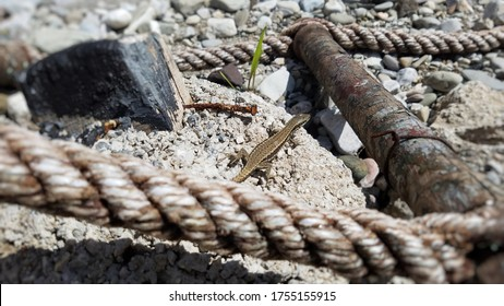 Small lizard sitting on stone hidden behind a blurred rope in the foreground of the image. Rusty metal rod is on its right and black stonr on its left side.