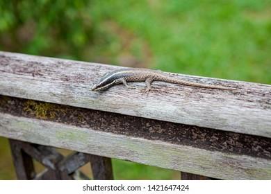 Small lizard in wooden handrail at Borneo Malaysia