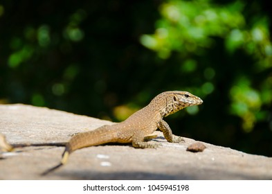 Small lizzard in the sun