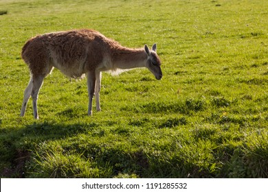 A small llama standing on a hillside covered in vibrant green spring grass enjoying the afternoon sunshine.
