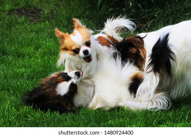 small long hair chihuahua is fighting in the green grass