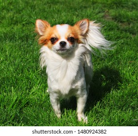 small long hair chihuahua in the green grass