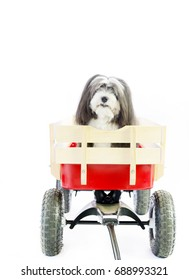 A small long hair furry dog sits in a red wagon on an isolated white background.