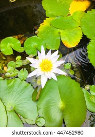 The small lotus is very fresh and colorful in pond at the garden.