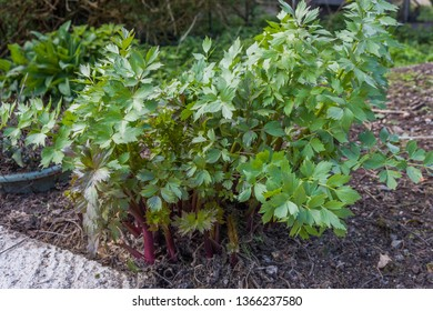 Small Lovage Plant growing in garden