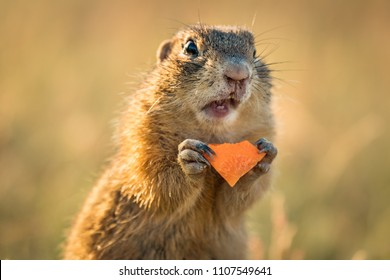 Small and lovely ground squirrel on a meadow among flowers during warm spring sunset. Very surprised, with its mouth opened. Peaceful, relaxing, amazing and funny. Cute but endangered animal.