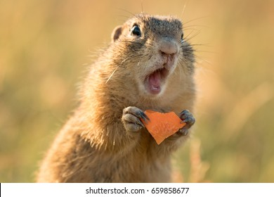 Small and lovely ground squirrel on a meadow among flowers during warm spring sunset. Very surprised, with its mouth opened. Peaceful, relaxing, amazing and funny