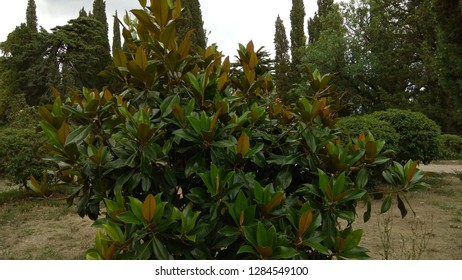 Small Magnolia tree in a Crimean seaside park on a background of round shrubs, cypress trees, conifers. Large,glossy,dark green leaves with rusty-brown fuzz leaf below on the Magnolia shrub branches.