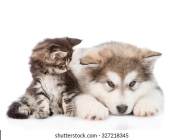 small maine coon cat looking  looking at a alaskan malamute dog. isolated on white background