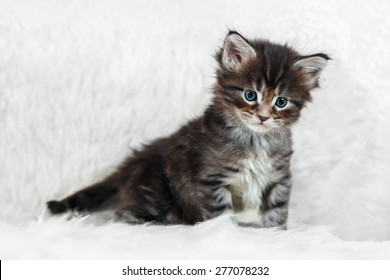 Small maine coon kitten posing on white background fur