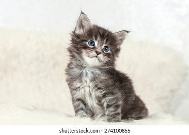 Small maine coon kitten sitting  - Shutterstock ID 274100855