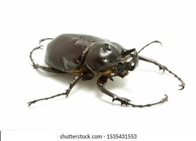 A small male Megasoma actaeon