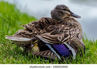Small mallard duckling ( (Anas platyrhynchos) ) hiding in its mother plumage.