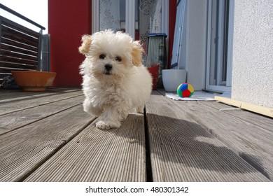 small Maltese dog on a dog runs counter