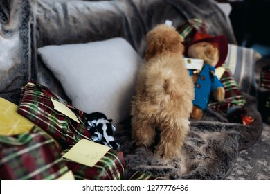 Small maltipoo puppy with curled tail and red curly hair, standing on grey sofa with big pillow and a lot of presents for Christmas holidays. Cute puppy playing with his toys.
