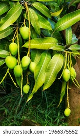 """The small mango look sweet and taste. Familiar called """"mempelam"""" in Malaysia."""