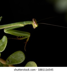 Small Mantid subadult of the Genus Oxyopsis