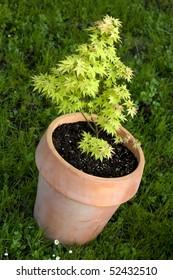 small maple tree in pot, latin name acer palmatum