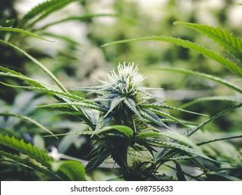 Small Marijuana Bud Growing Close Up on Cannabis Plant