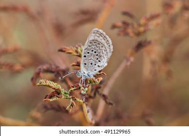 Small Mazarine blue butterfly macro.