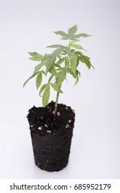 Small medical marijuana clone with small roots,closeup