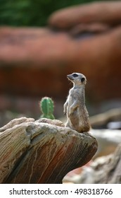 small meerkat standing on the rock of the desert and controls its territory