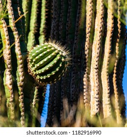 A small melon sized out growth sprouting on the side of a large sonoran desert cactus.