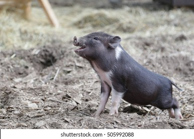 Small miniature Pig (mini piggy) with mouth opened in petting zoo