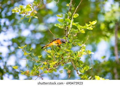 The small minivet is a small passerine bird. This minivet is found in tropical southern Asia