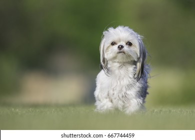 A small, mixed breed dog portrait outdoors on green grass with negative space
