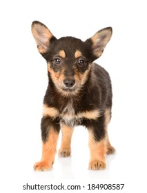 small mixed breed puppy dog standing in front. isolated on white background