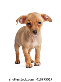 Small mixed breed puppy dog with sad expression standing on white