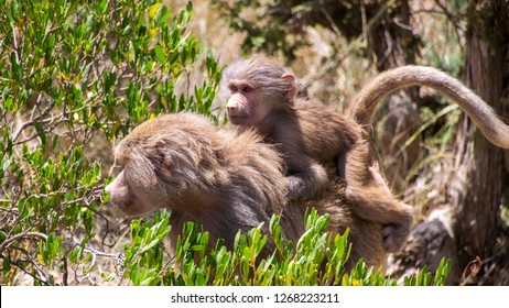 A small monkey clings to the back of his mother in the mountains near the city of Abha