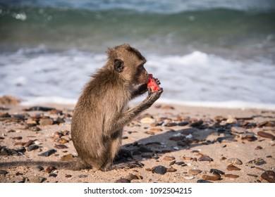 A small monkey enjoying his watermelon on the beach at Monkey Island, Pattaya, Chomburi