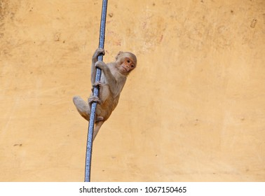 small monkey hanging on rode against grunge yellow wall in Jaipur, India