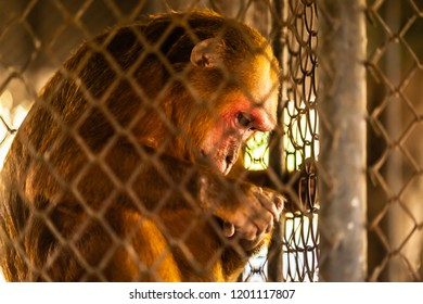 a small monkey, a macaque, in a rusty cage into an exhibit of a zoo in Thailand