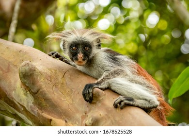 Small monkey on the tree on Zanzibar island, Tanzania, Africa