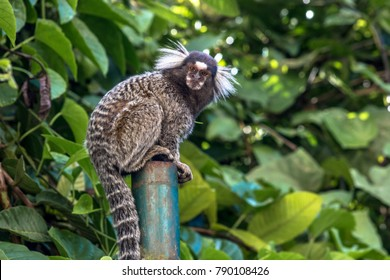 Small monkey popularly known as White-Tailed Sagittarius, Callithrix jacchus, in an area of Atlantic Forest in the neighborhood of Intrerlagos,  south of Sao Paulo