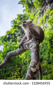 Small monkey sitting on a tree branch on a Monkey Beach in Thailand, green trees and blue sky in the background