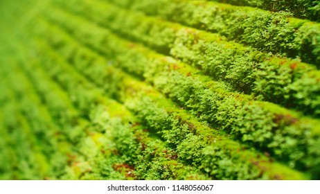 Small moss planted a small tree on a stone wall or ladder moss's green background. The background usually grows in thick green clumps or mats. depth of field of mosses