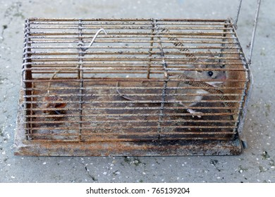 A small mouse trapped.