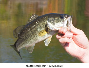 Small Mouth Bass Held Outside the WaterJust Before Release Back into the Lake