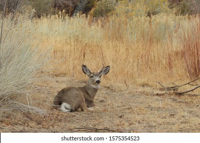 Small, mule deer, buck resting in the autumn foliage, Eastern Sierras, Round Valley, California.