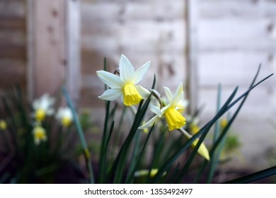 Small Narcissi in a garden