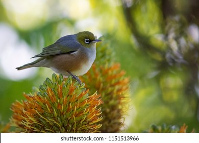 A small native Silvereye or Waxeye sits perched on an orange flower in a garden in Auckland, New Zealand