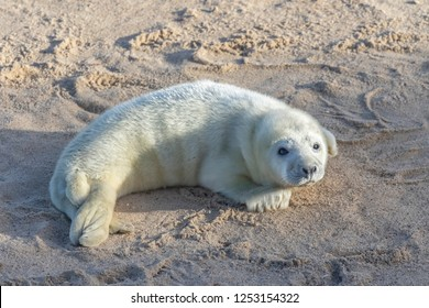A small newborn grey seal pup, soaks up the suns rays on a beach in norfolk