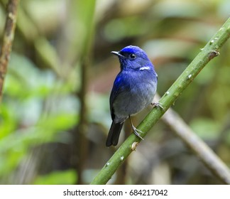 Small Niltava. A male uncommon resident bird of Thailand could be found in hill evergreen forest from 900 m to highest summits. The shot taken from Maewong National Park, Kampaengpetch province.
