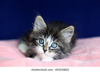 A small Norwegian kitten tabby gray black and white In lying position with eyes to up on pink cushion and blue background