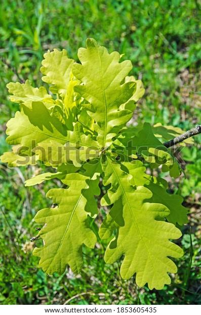 small-oak-sprout-garden-sapling-600w-185