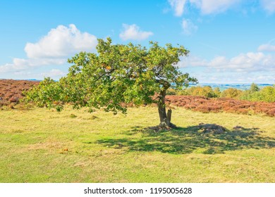 A small oak tree, bent by the constant winds, stands on Stanton Moor in Derbyshire
